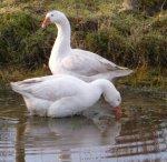 geeseforblog
